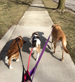 Ann Arbor dog walker